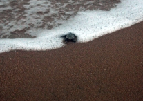 An olive ridley hatchling heads home. Location: Chennai, India